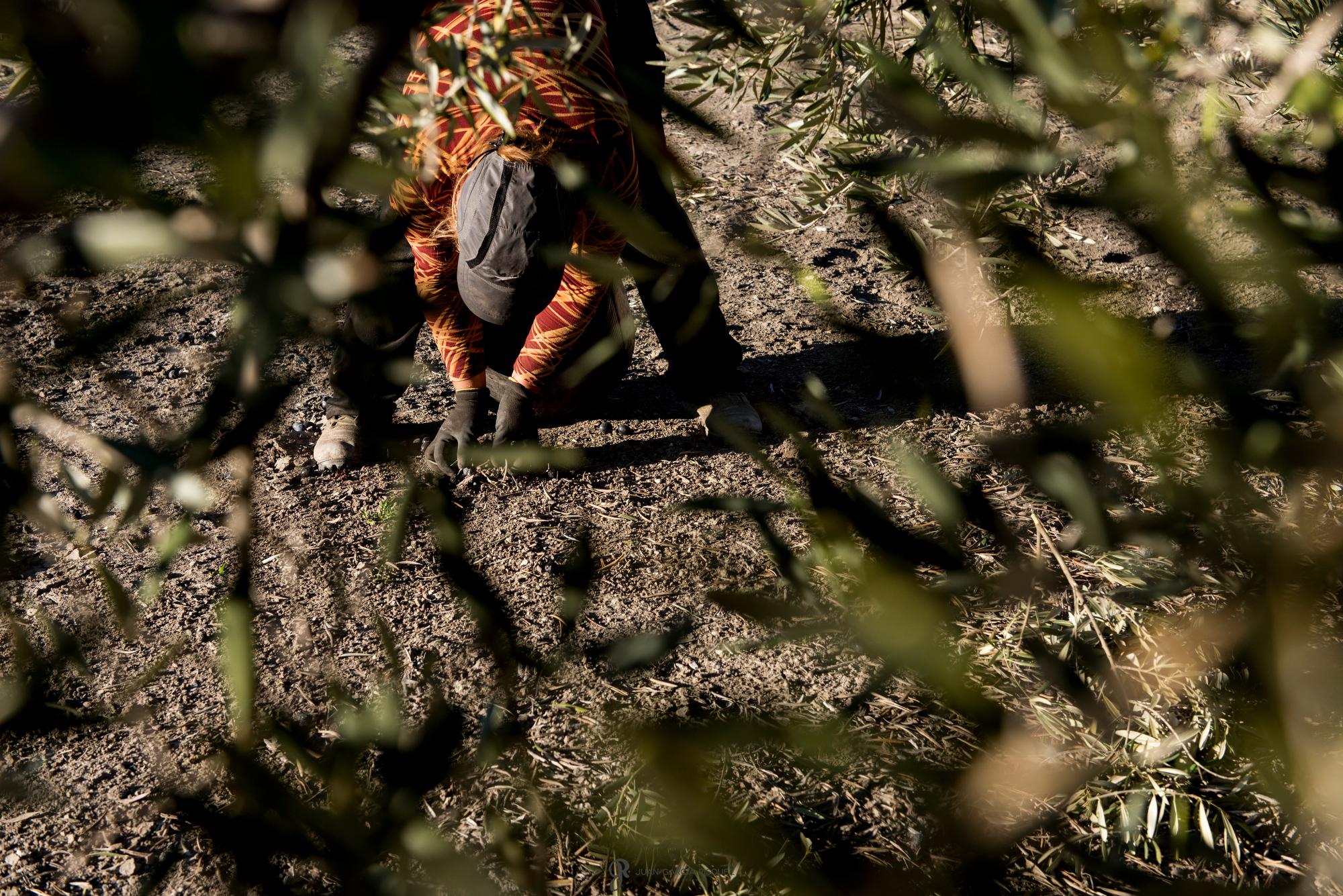 reportaje de fotos de cultivo de aceite de oliva ecologico en Jaen