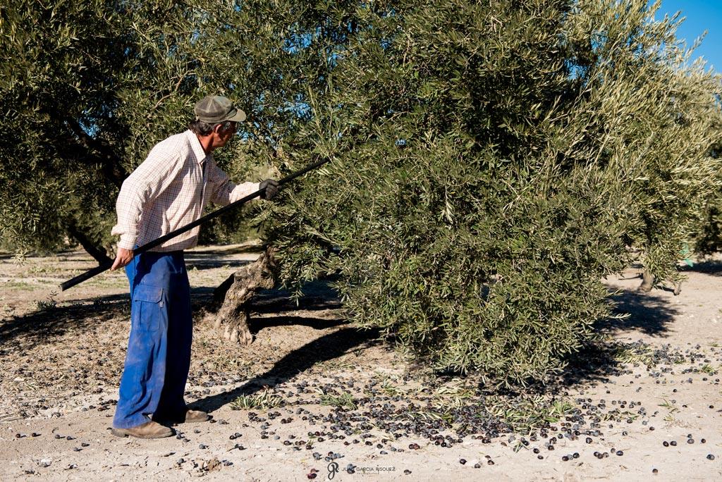 reportaje de fotos de recoleccion para aceite de oliva